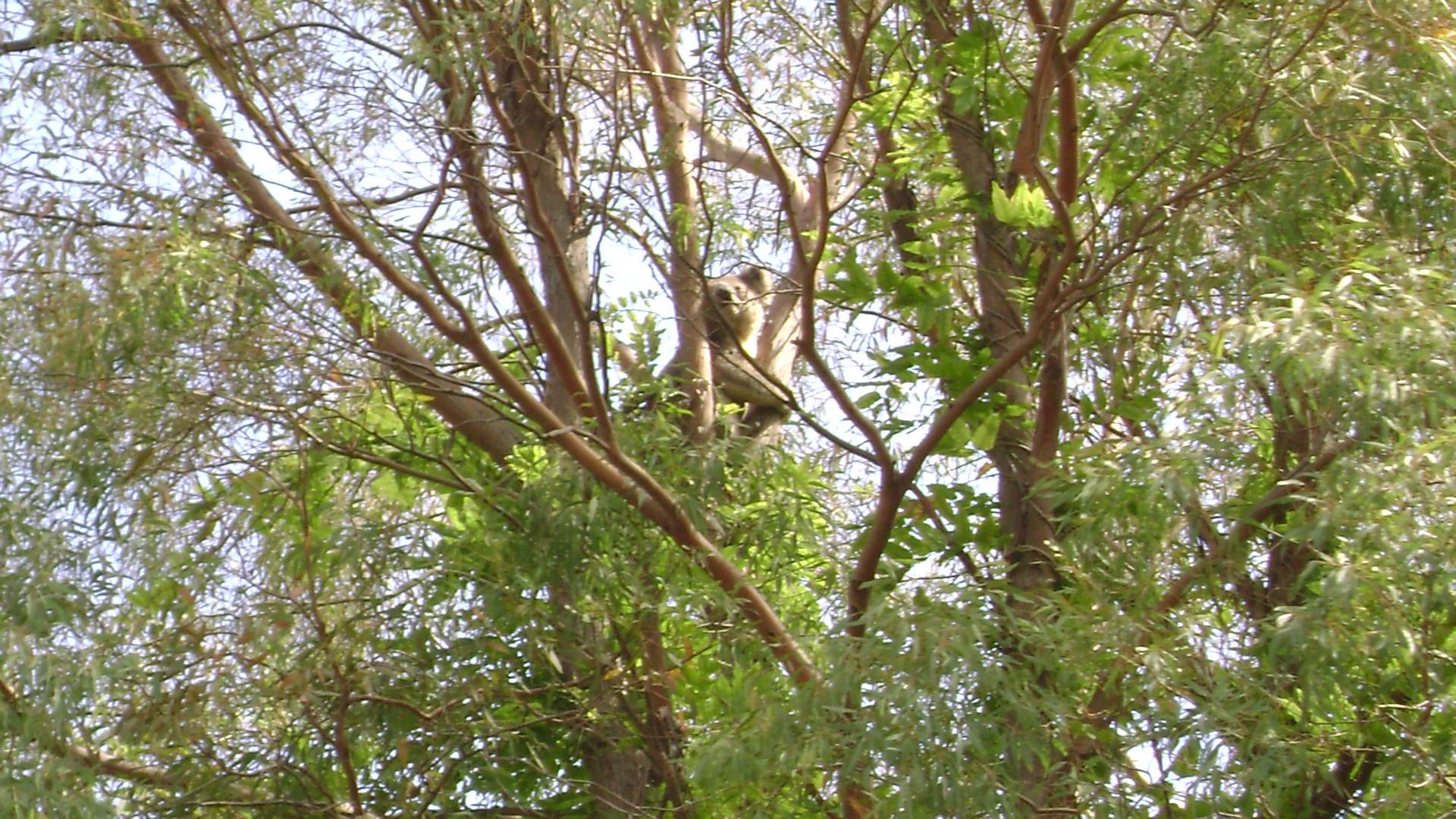Koala @ Grand Ridge Jan 12 1.JPG