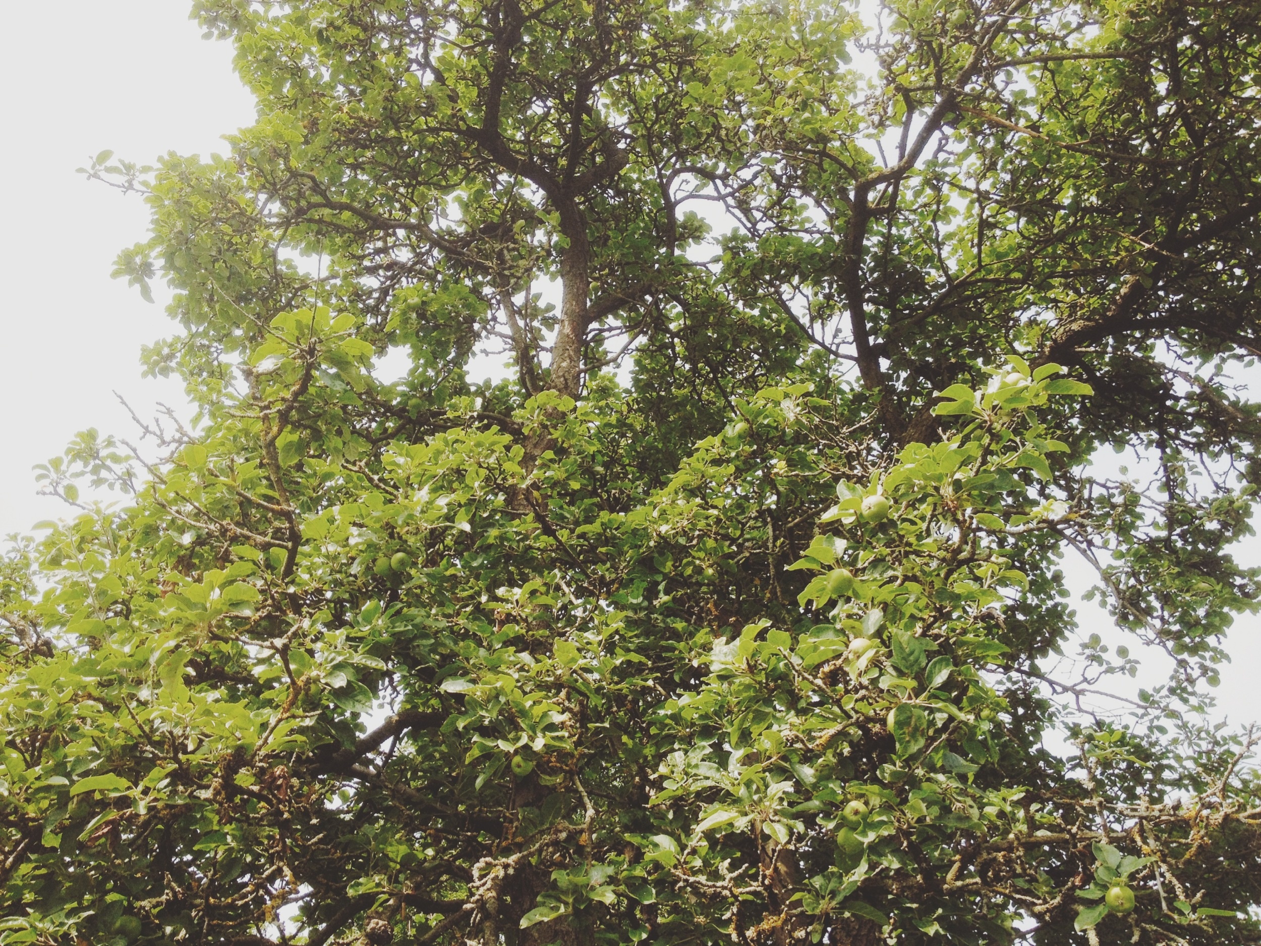 Yup, plenty of apples growing here