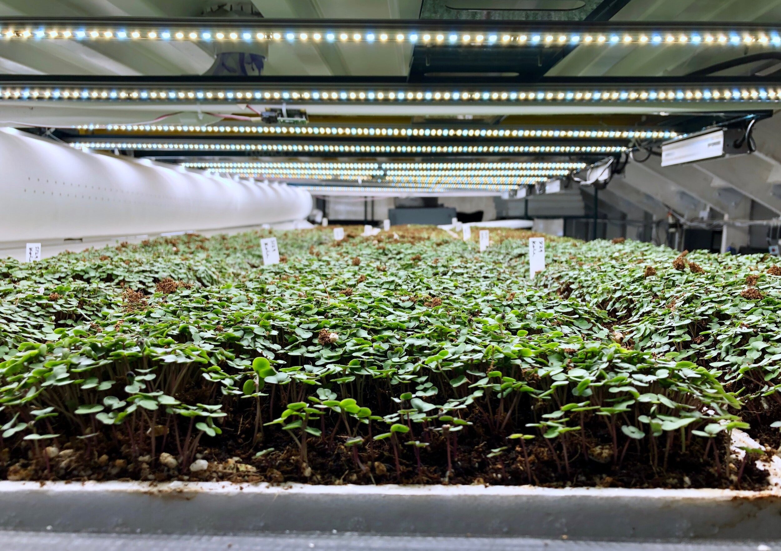Microgreens growing in a pond within vertical racks