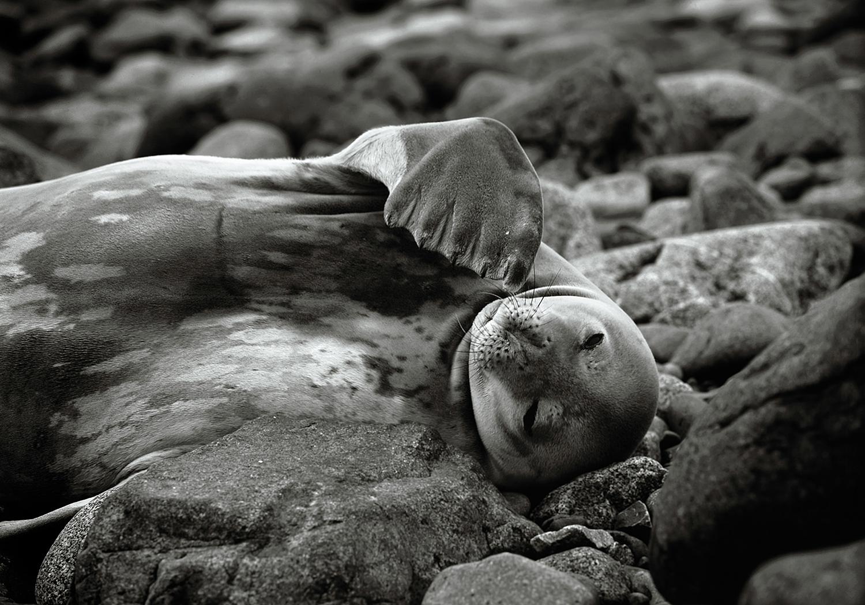 WeddelSeal-1500.jpg