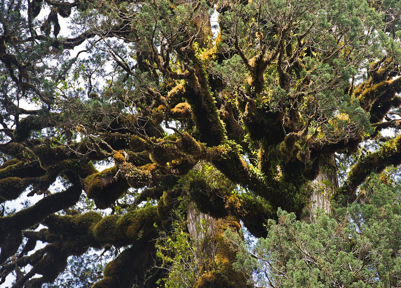 Alercie-foliage-1500.jpg