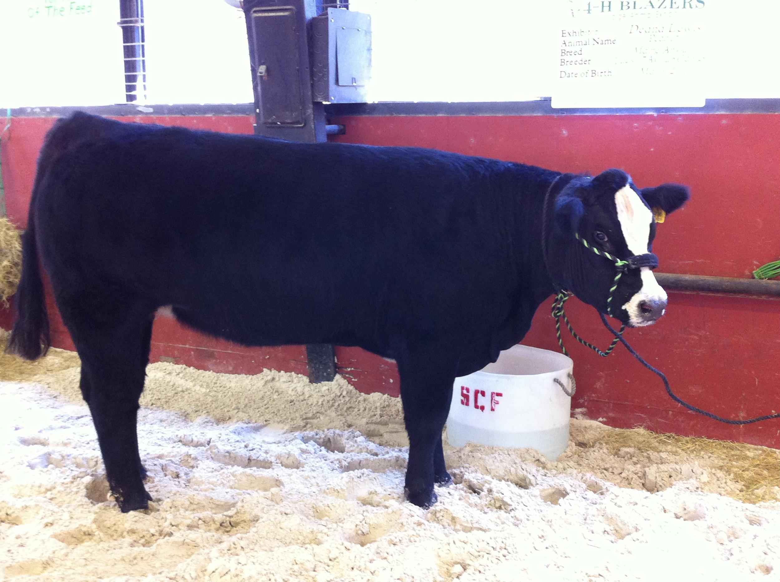 Black-Cow.JPG