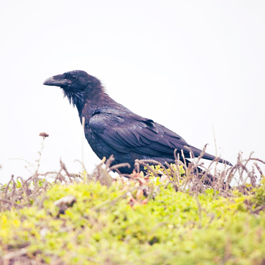 raven_web.jpg