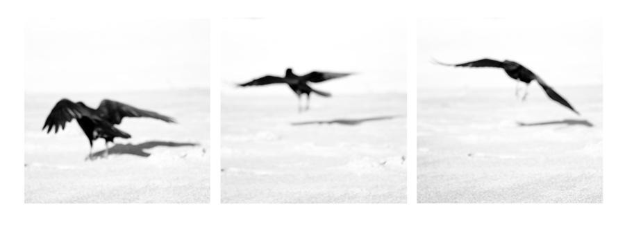 crows_flying.jpg