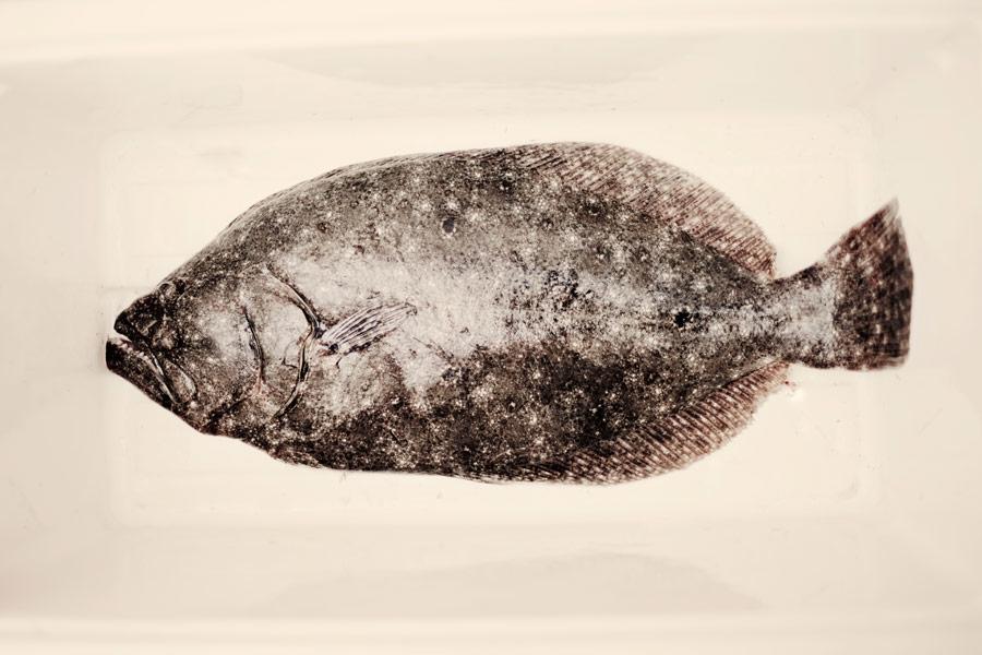 flounder_1.jpg