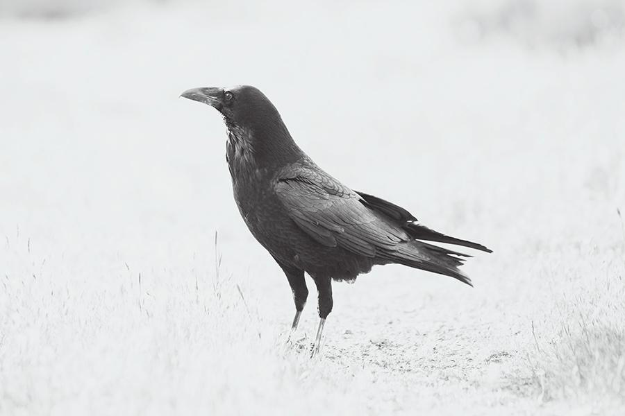 raven-courtneymichalik.jpg