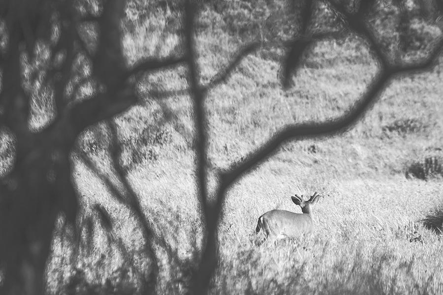 deer-courtneymichalik.jpg