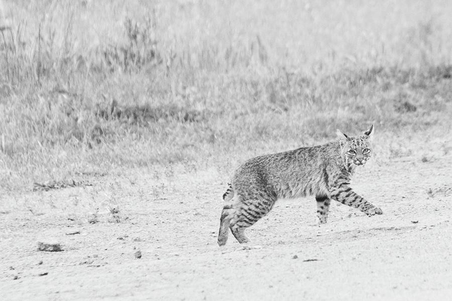bobcat2-courtneymichalik.jpg