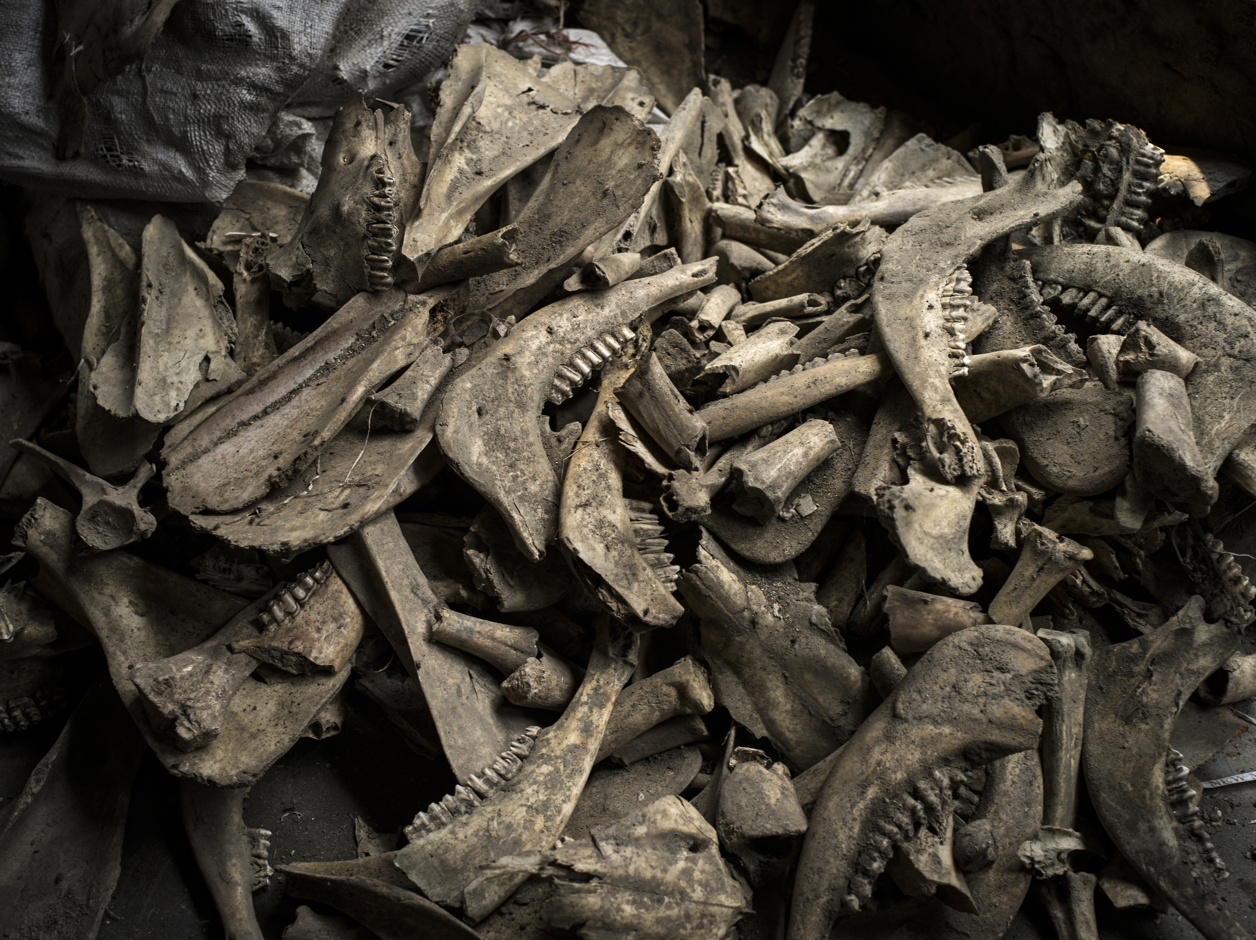 Bones collected from a landfill