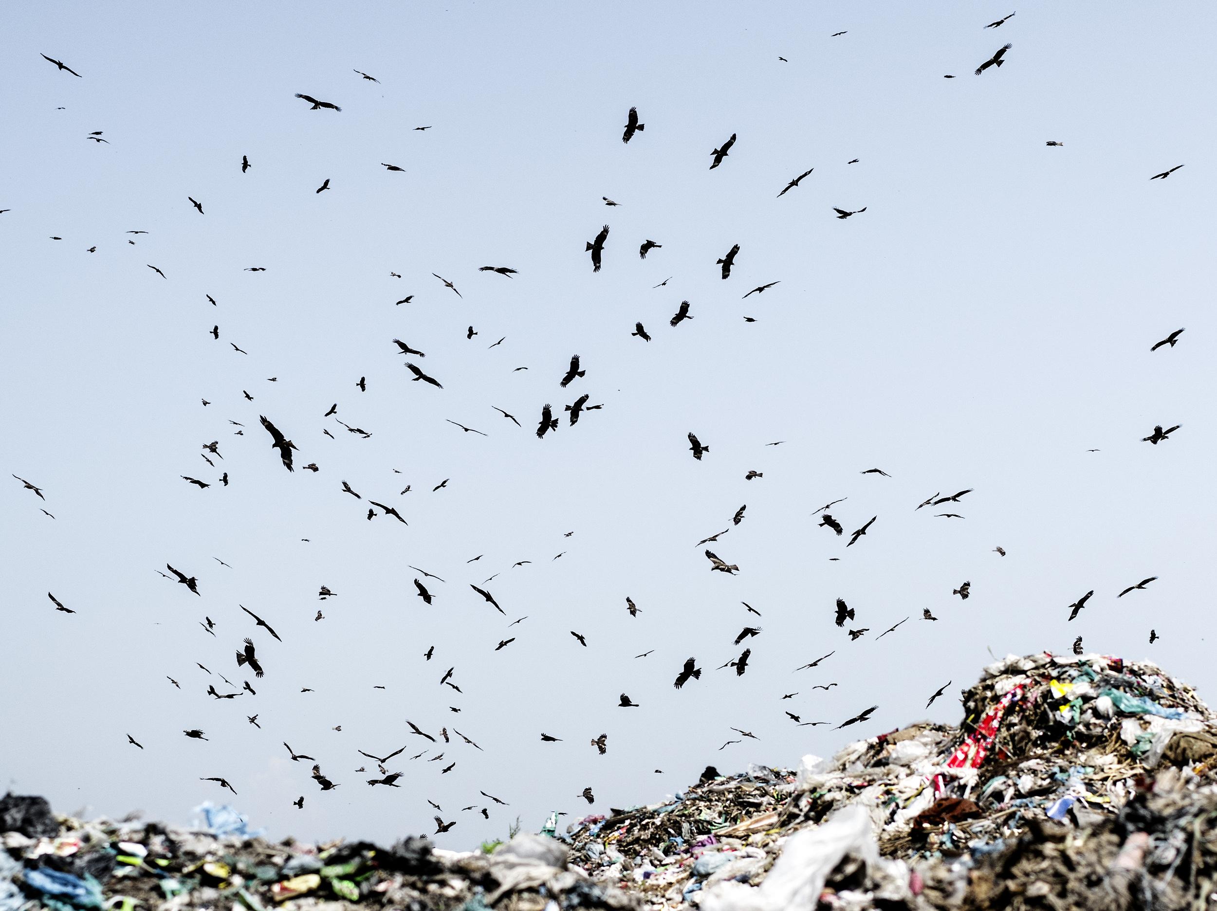 Vultures circling over Parar Chokh Landfill in Sylet, Bangladesh.