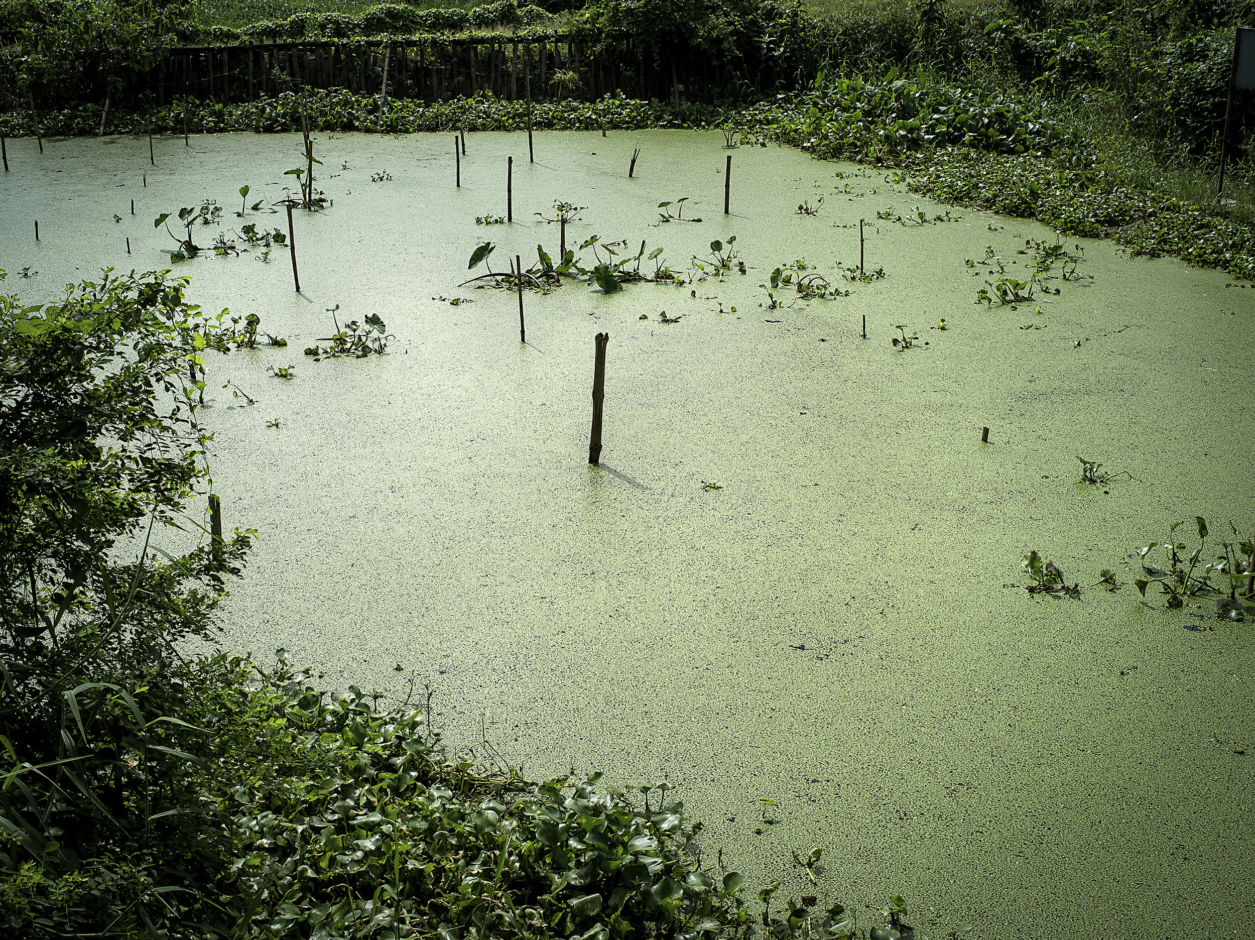Duckweed at Narayanganj waste dump area. Duckweed is an aquatic plant that cleans waste waster.