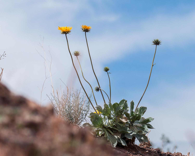 Silverleaf sunray (Enceliopsis argophylla)