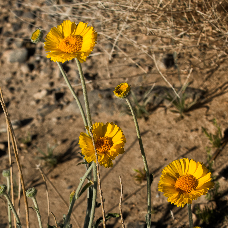 Desert marigolds  (Baileya multiradiata  ) .