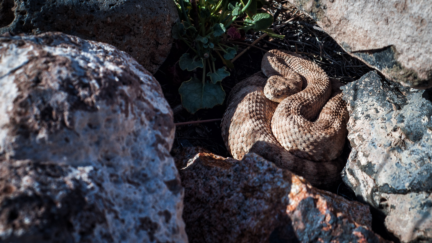 "A sidewinder rattlesnake (  Crotalus cerastes)   found during a ""clean up the desert"" event in a pile of rocks."