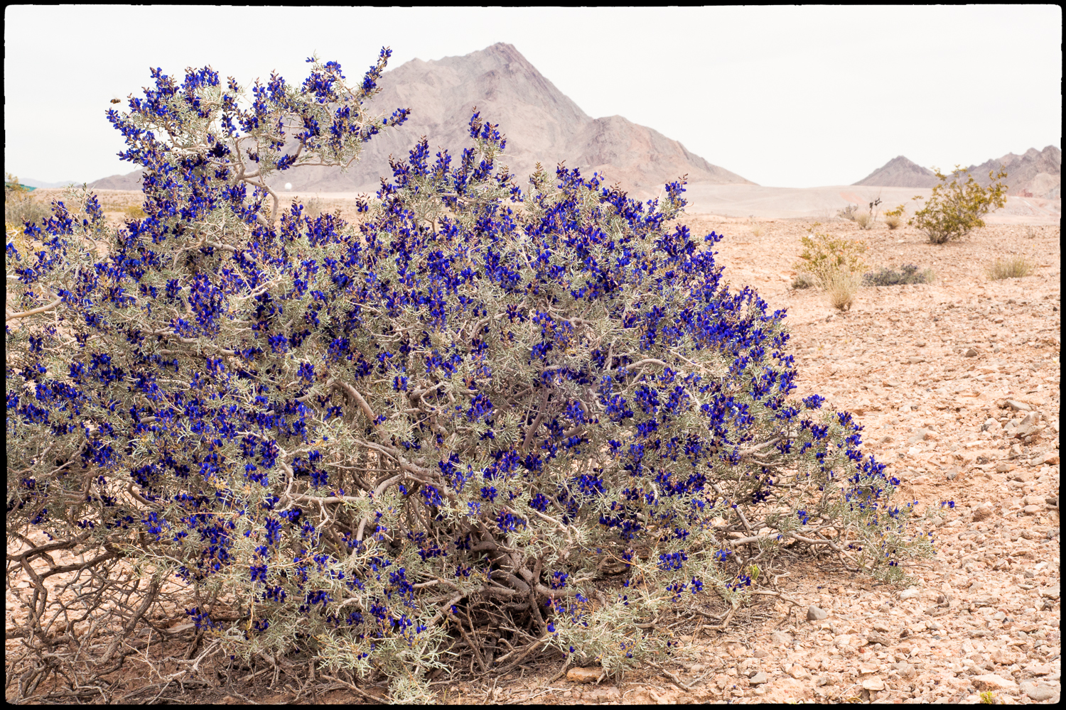 Indigo bush near Sunrise Trail Head.