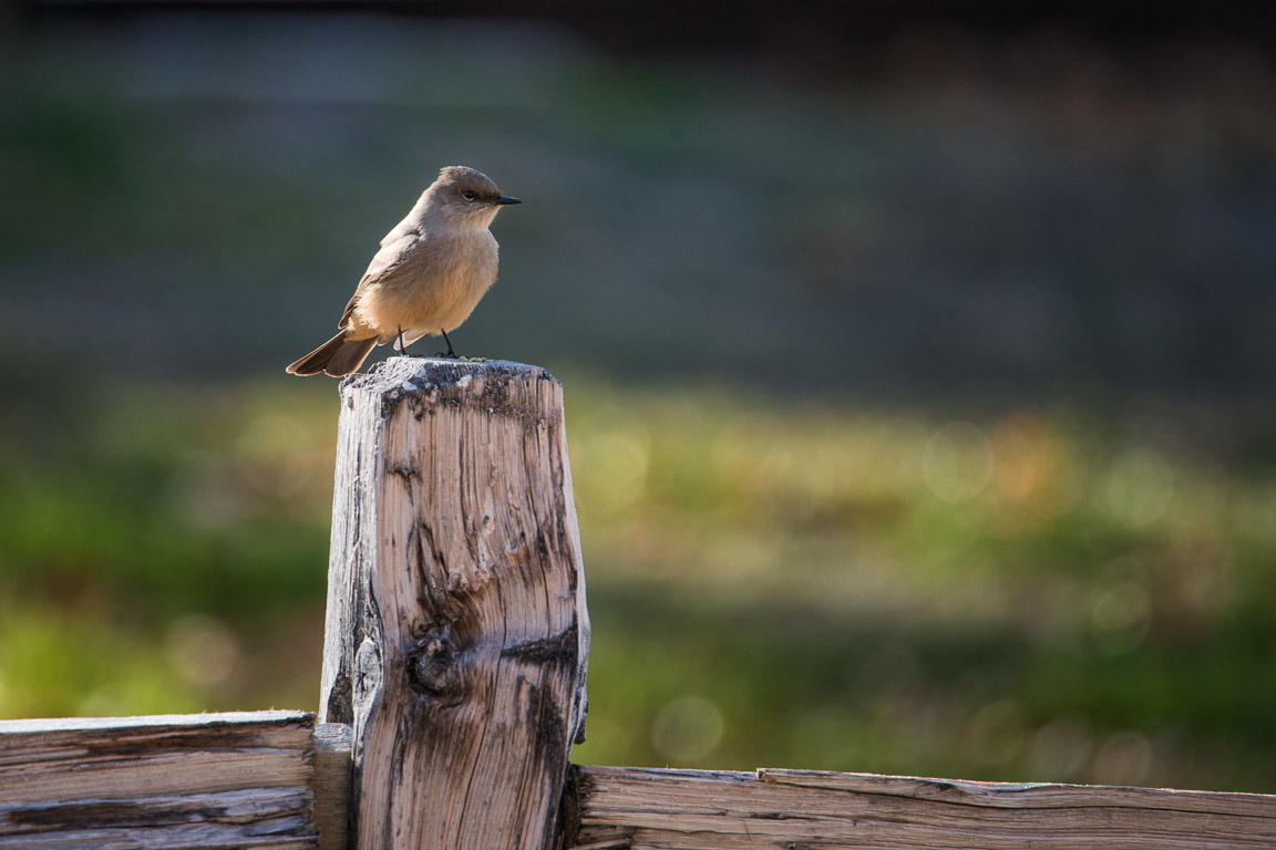 A Say's phoebe looking for bugs.