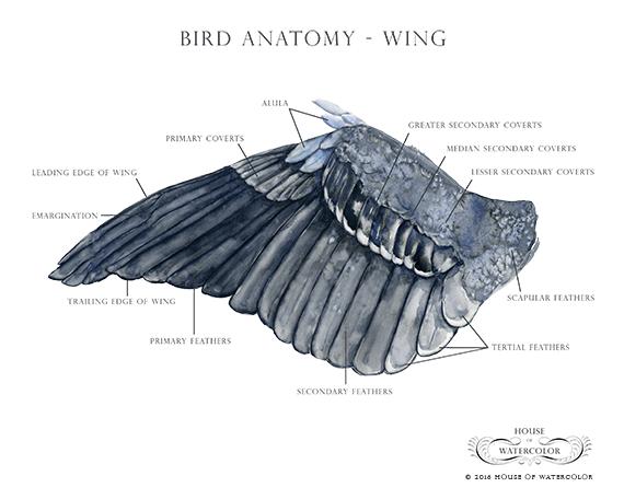House-of-Watercolor---Bird-Anatomy---Wing-Portfolio.png
