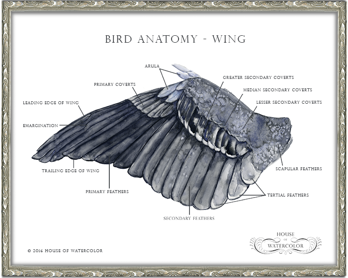 House-of-Watercolor---Bird-Wing-Anatomy-Frame.png