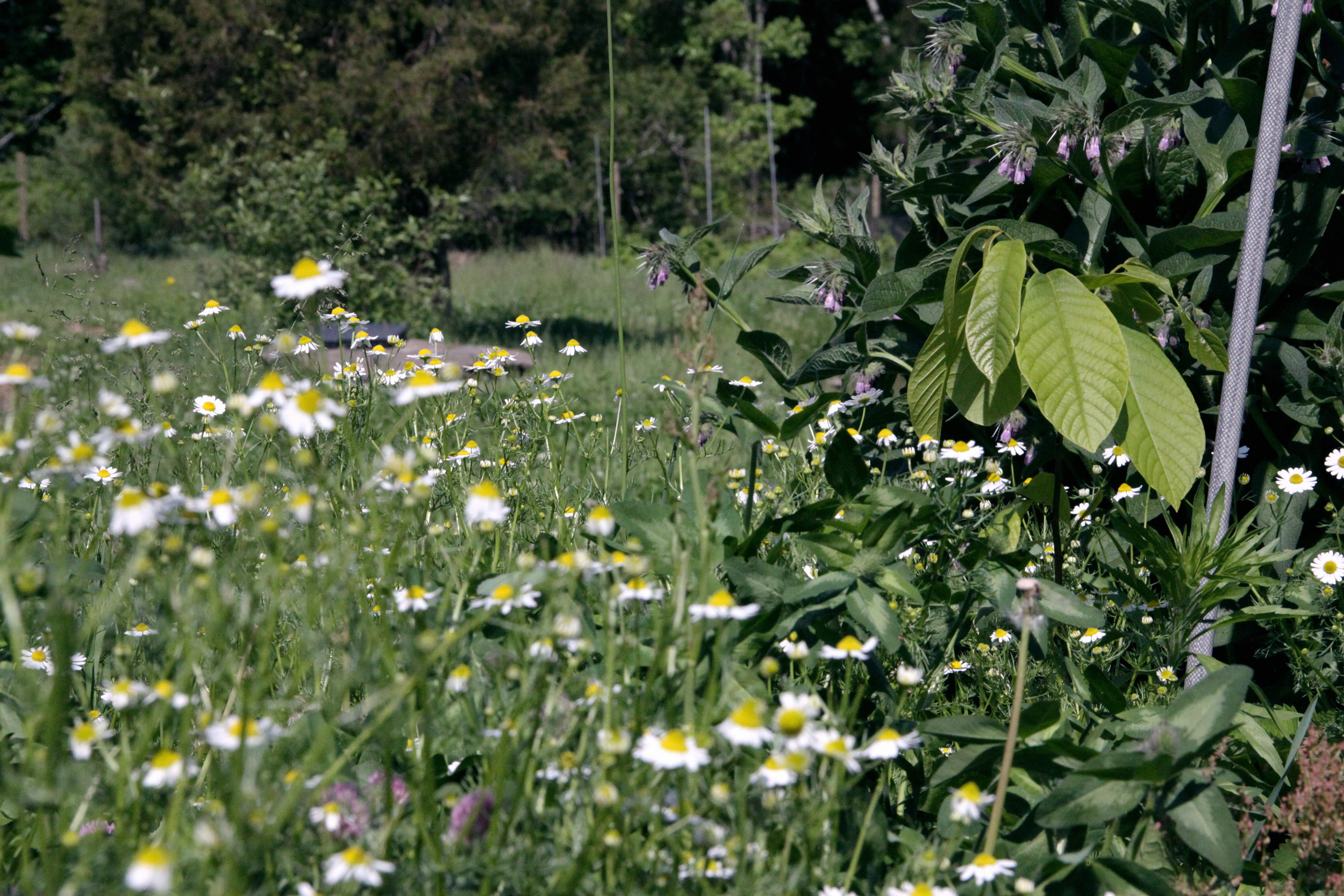 Chamomile, Red Clover, Pawpaw, Comfrey