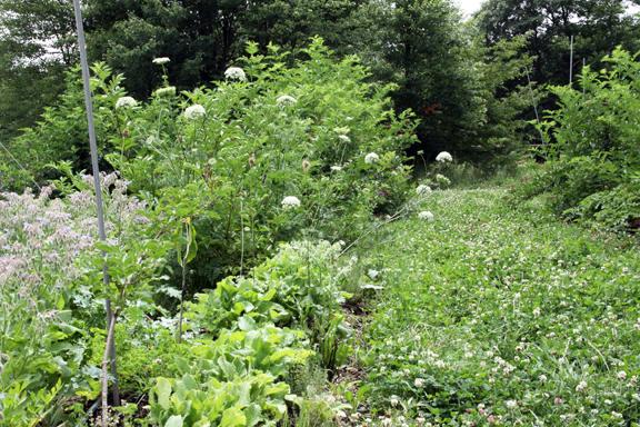 Southwest field row, elderberry, borage, pawpaw, yarrow, carrots, thyme, currant