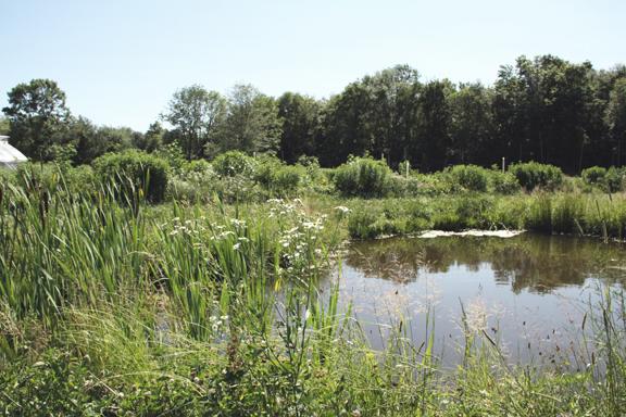 duck pond, peppermint, spearmint, cattails