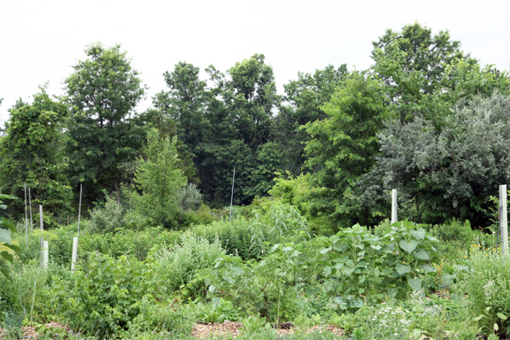 three sisters patch, pawpaw, persimmon, currant, sage, sunflower, feverfew, strawberries