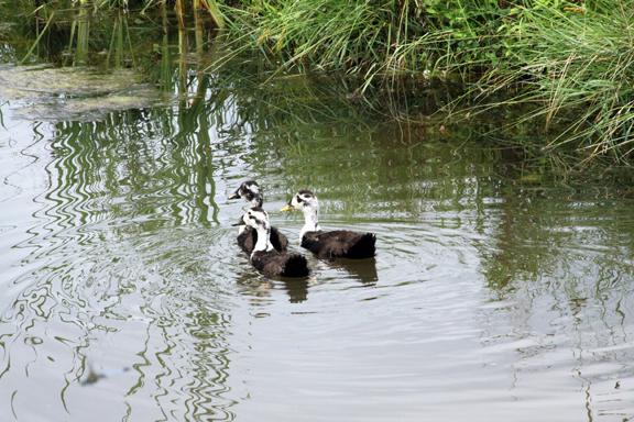 ducks-IMG_7724.jpg