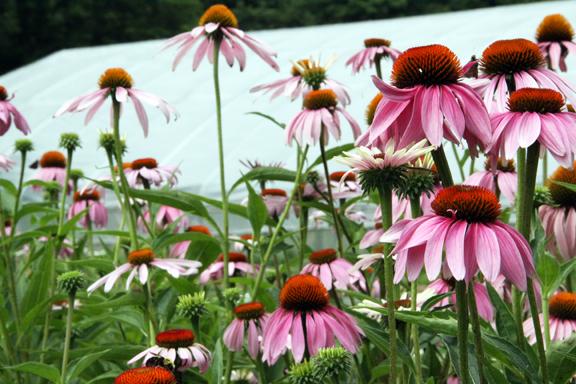 echinacea-IMG_7614.jpg