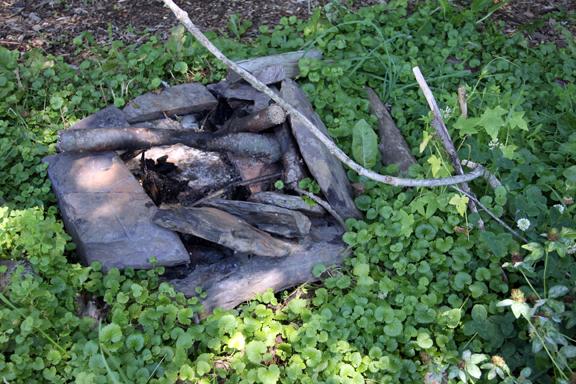 ground ivy around fire pit