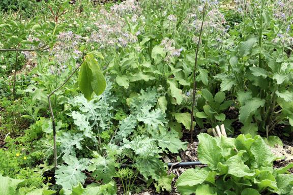 pawpaw, kale, borage, elderberry