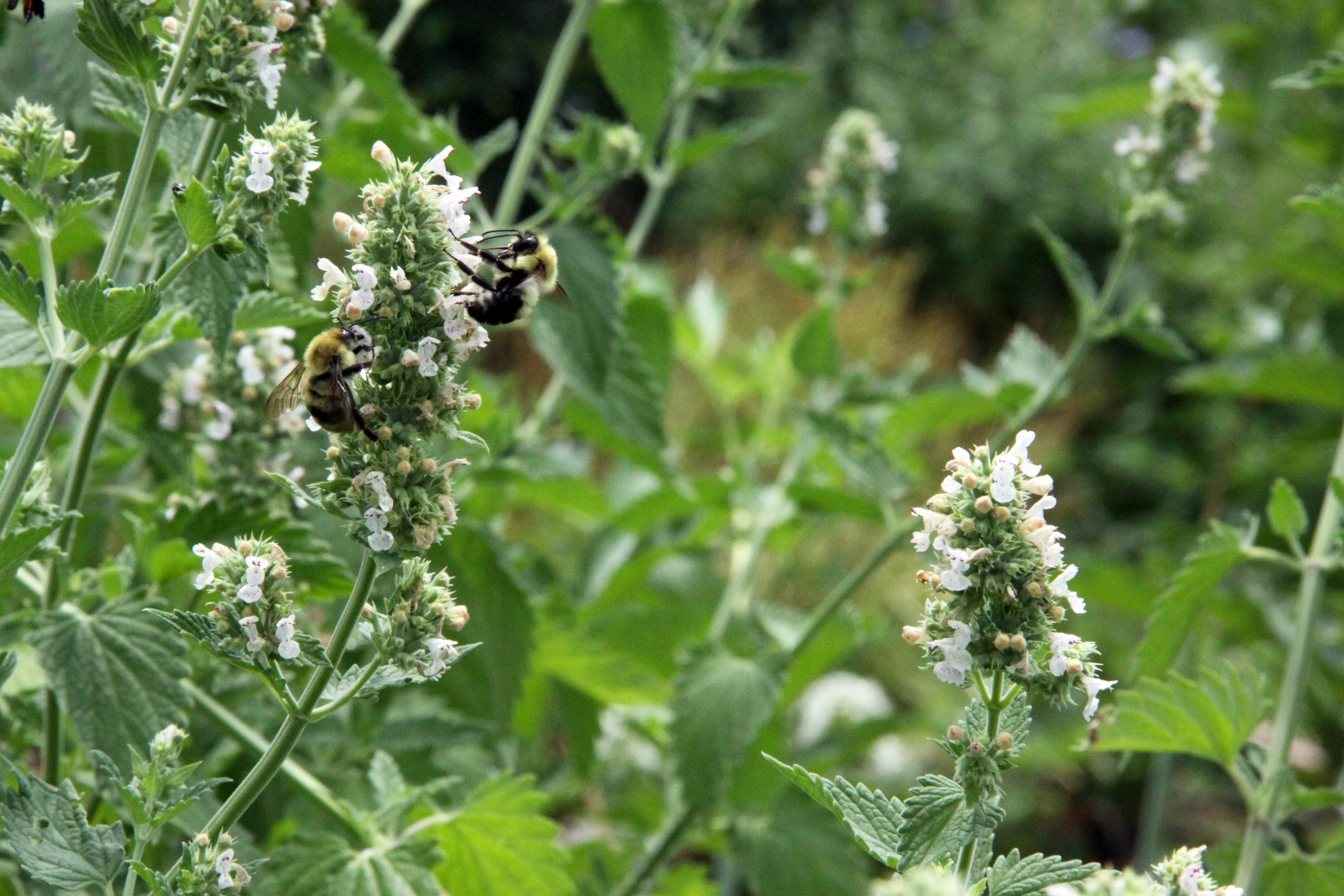 bees on catnip, 2014