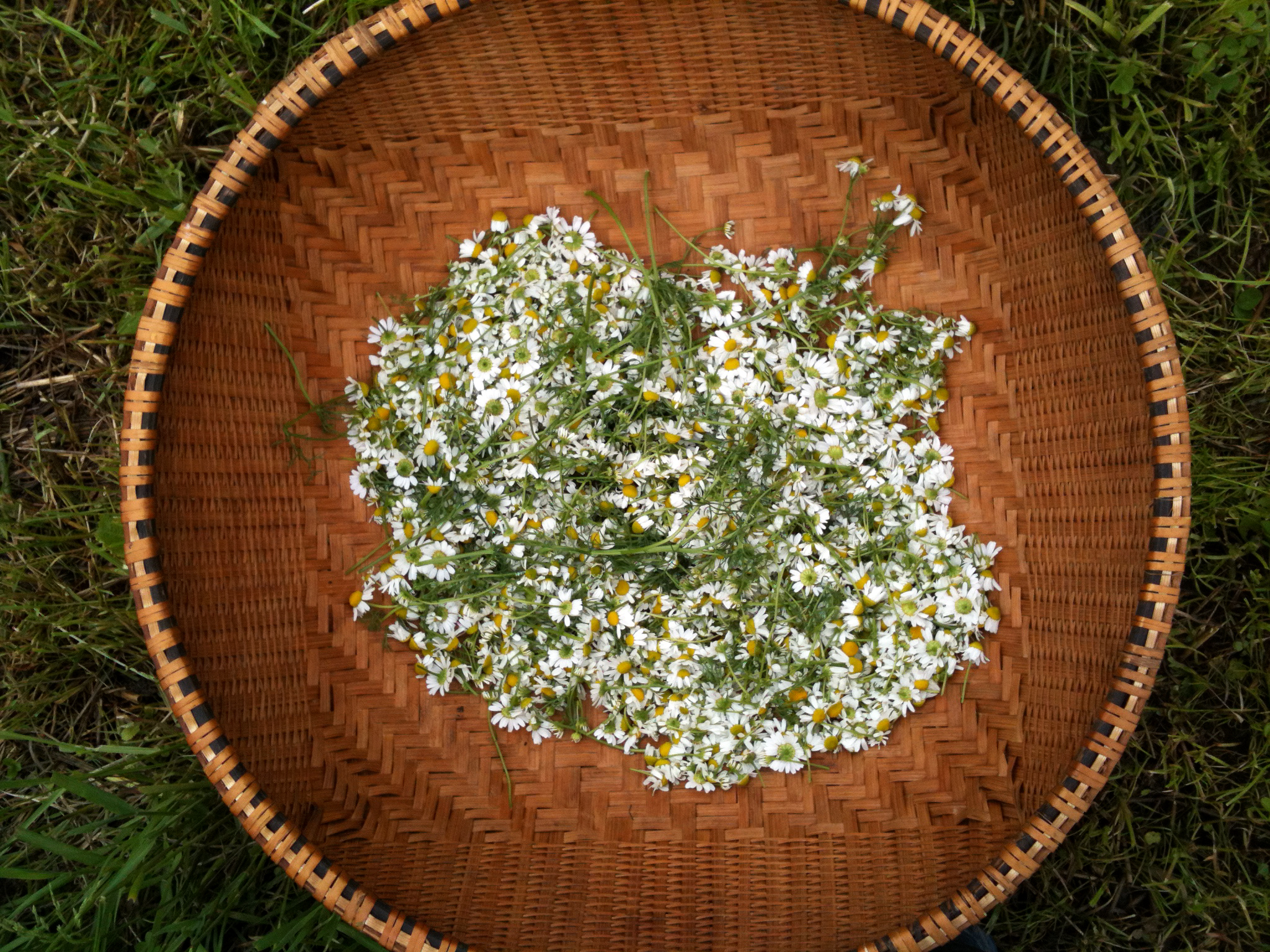 Copy of Chamomile