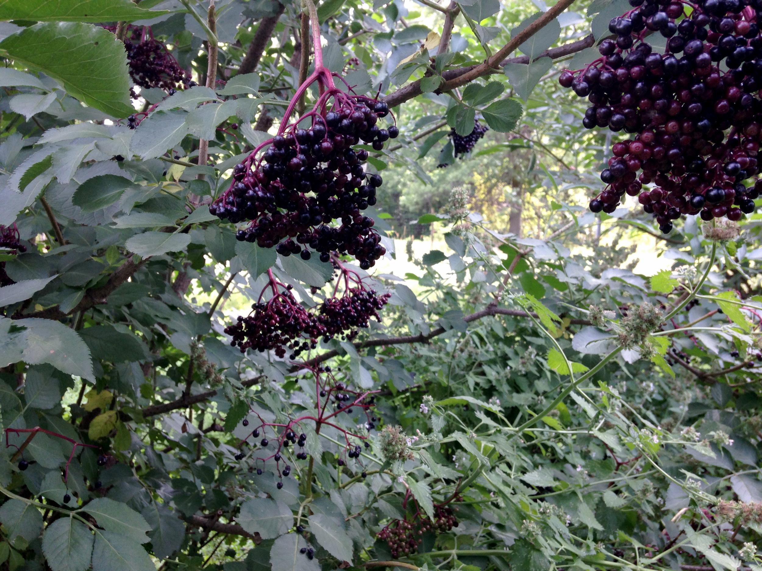 Elder-berries_0957.jpg