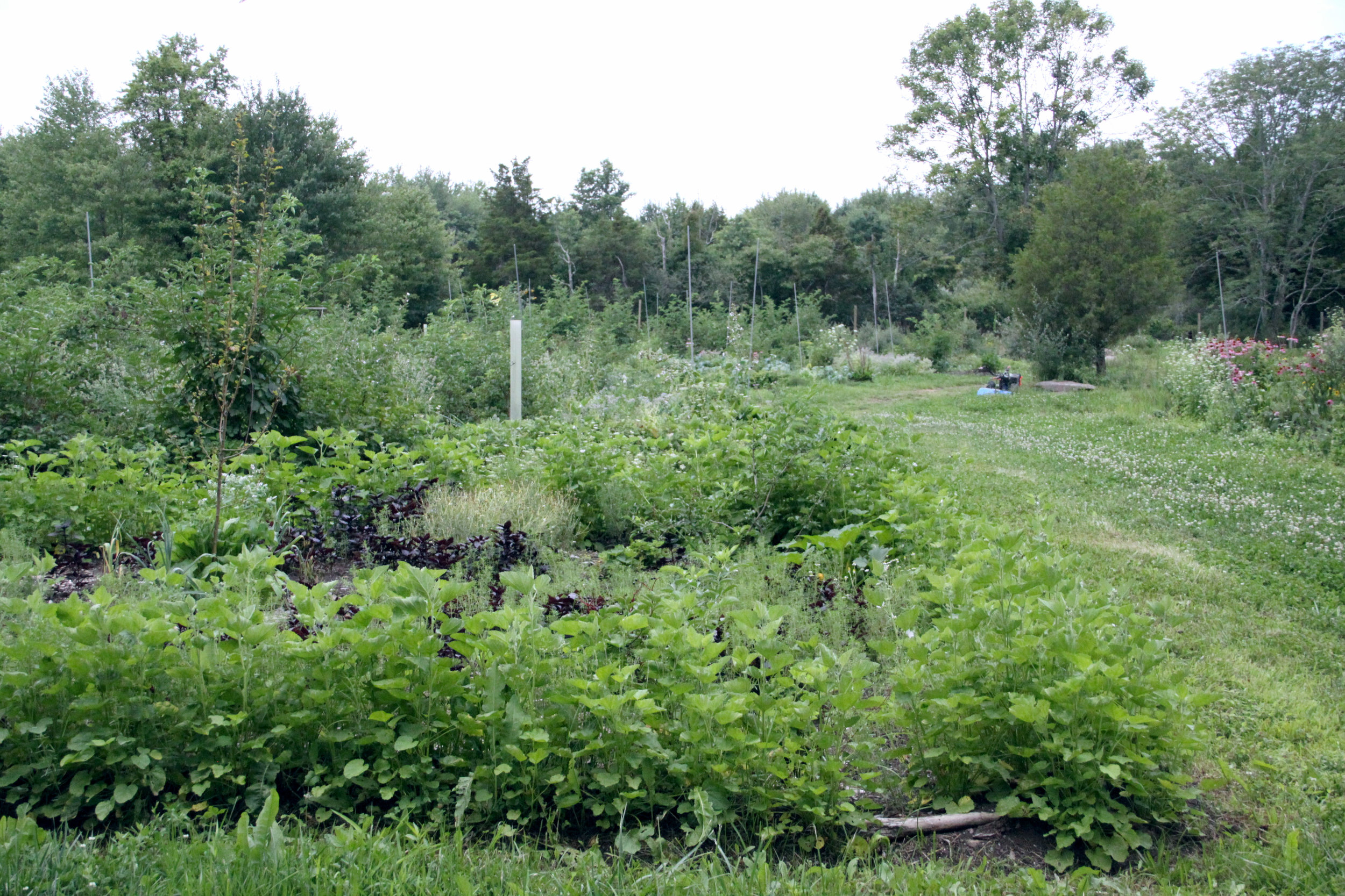 South field view, 2014 early succession of forest garden