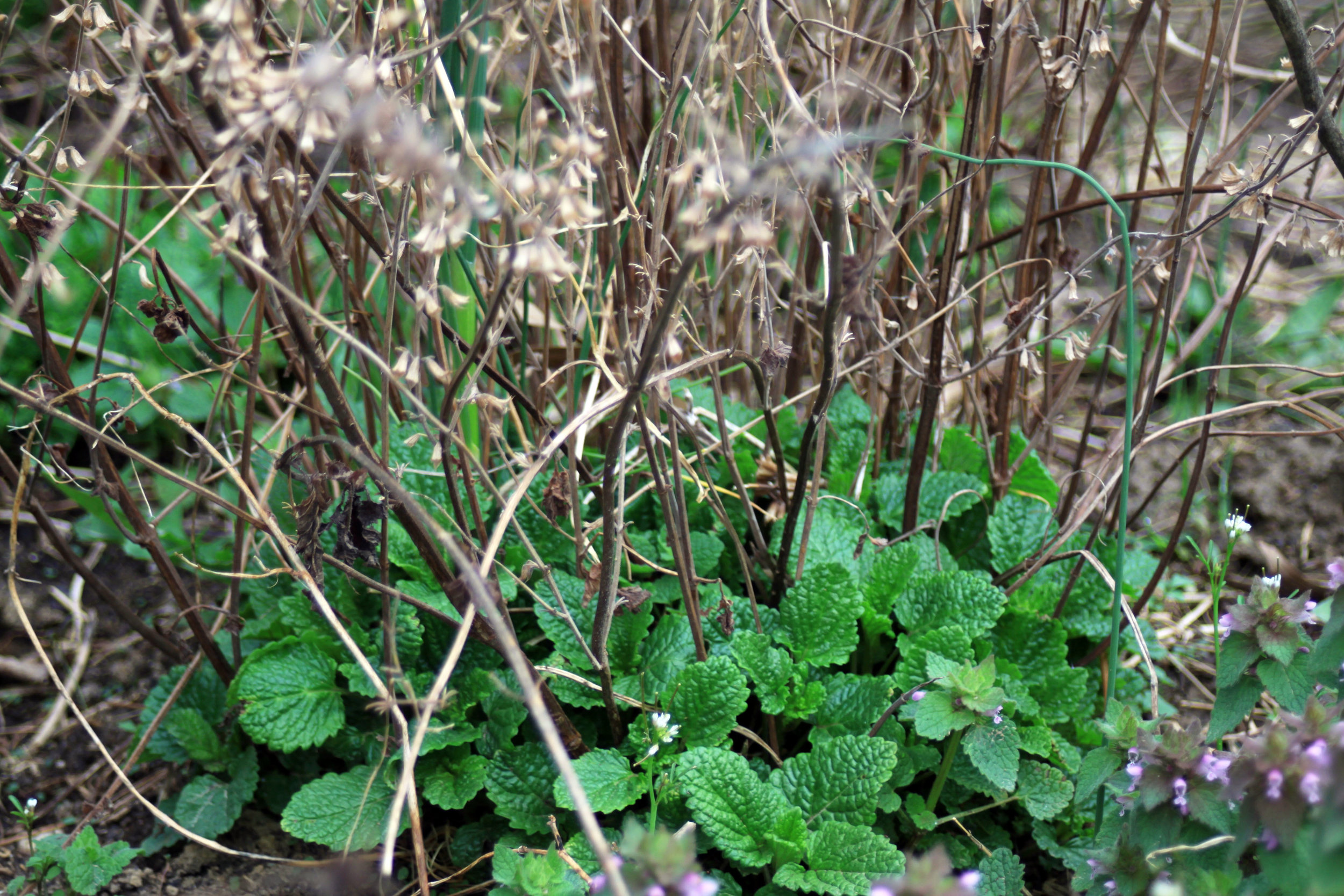 lemon-balm-early-spring-stalks.jpg