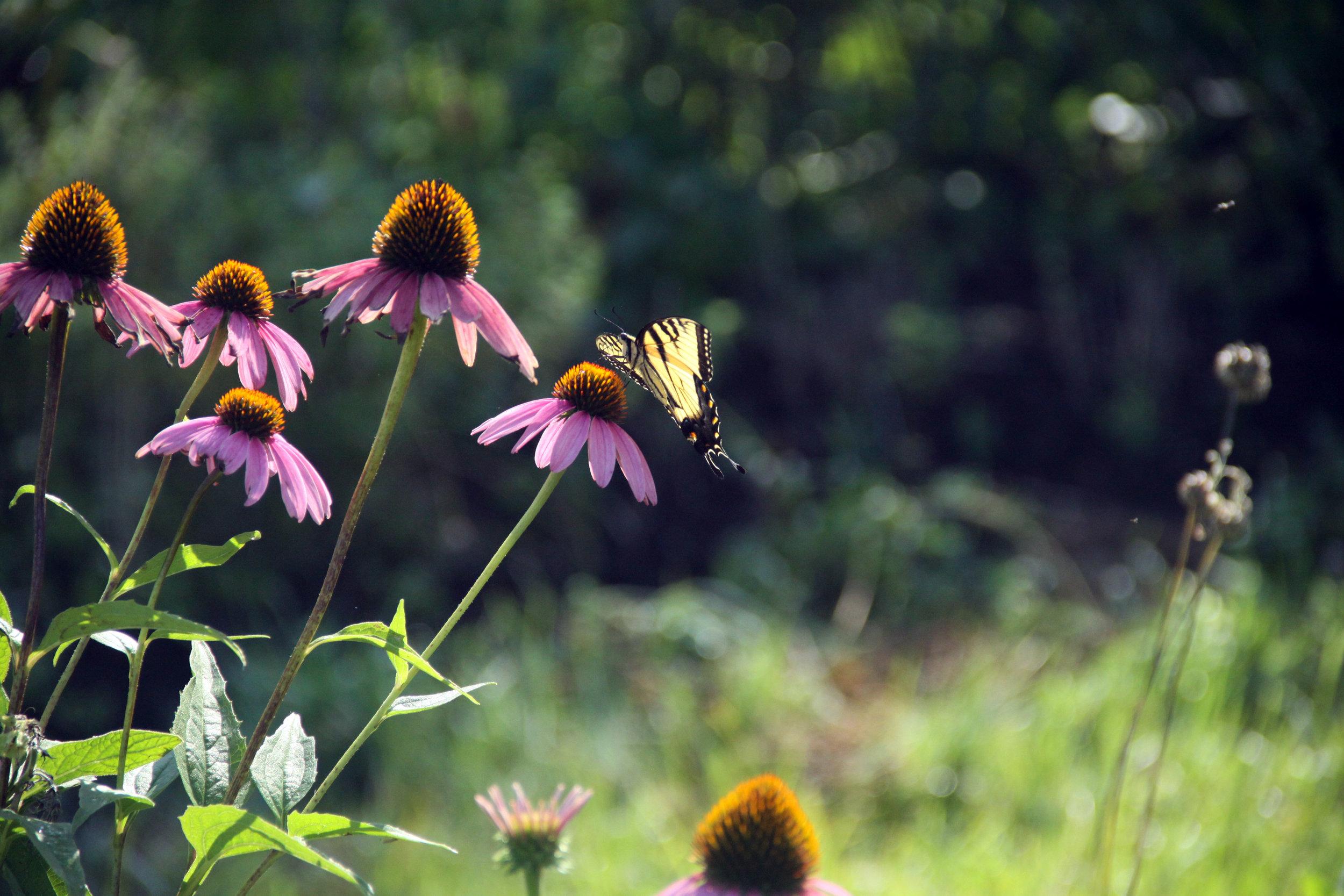 IMG_4012-echinacea-butterfly.jpg