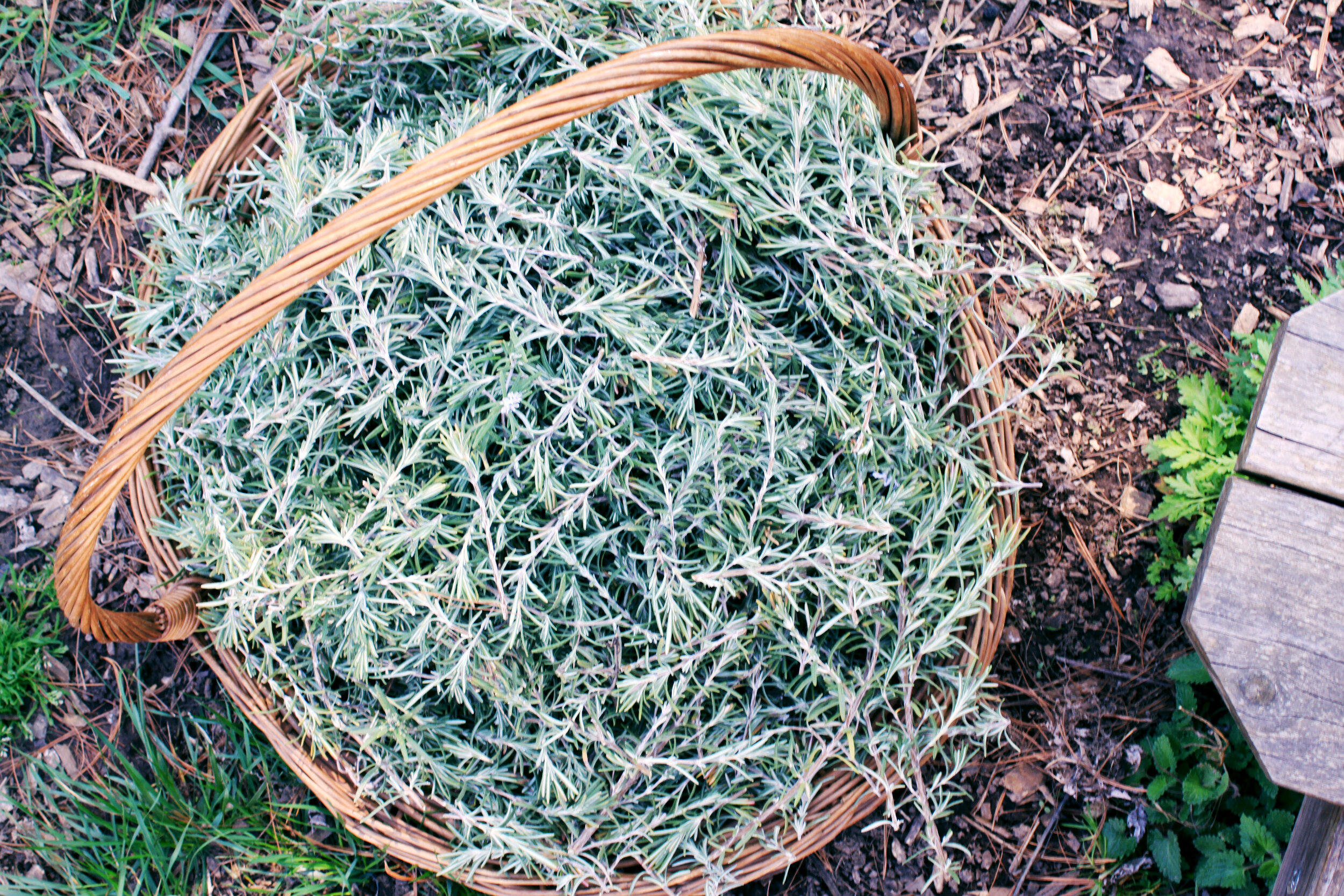 rosemary-harvest-basket.jpg