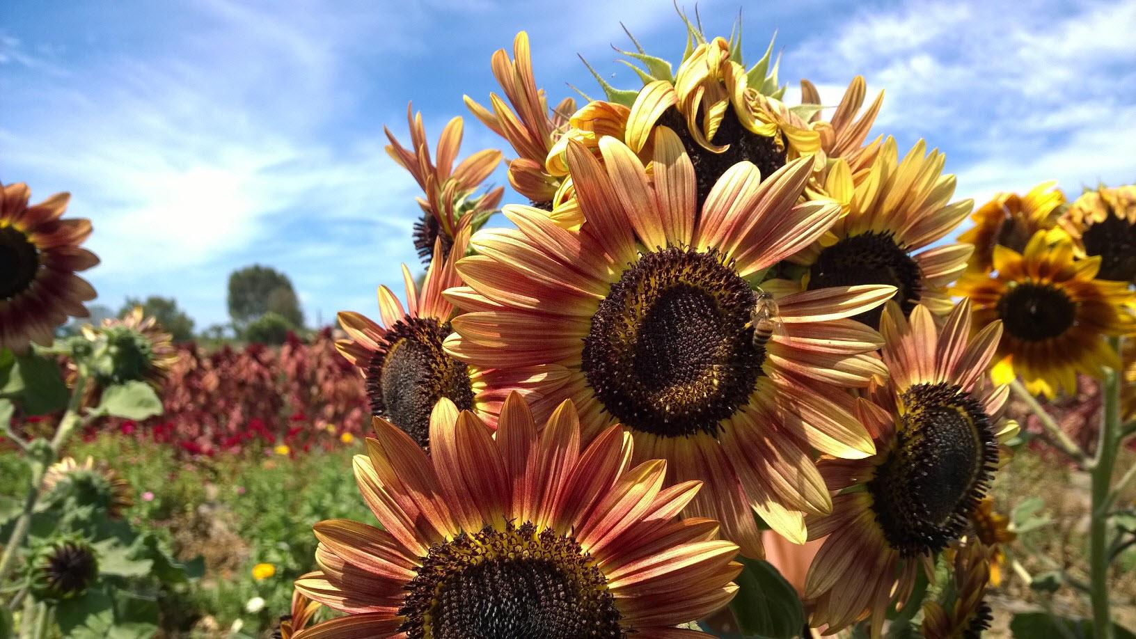 Sunflowers at Suzie's Farm