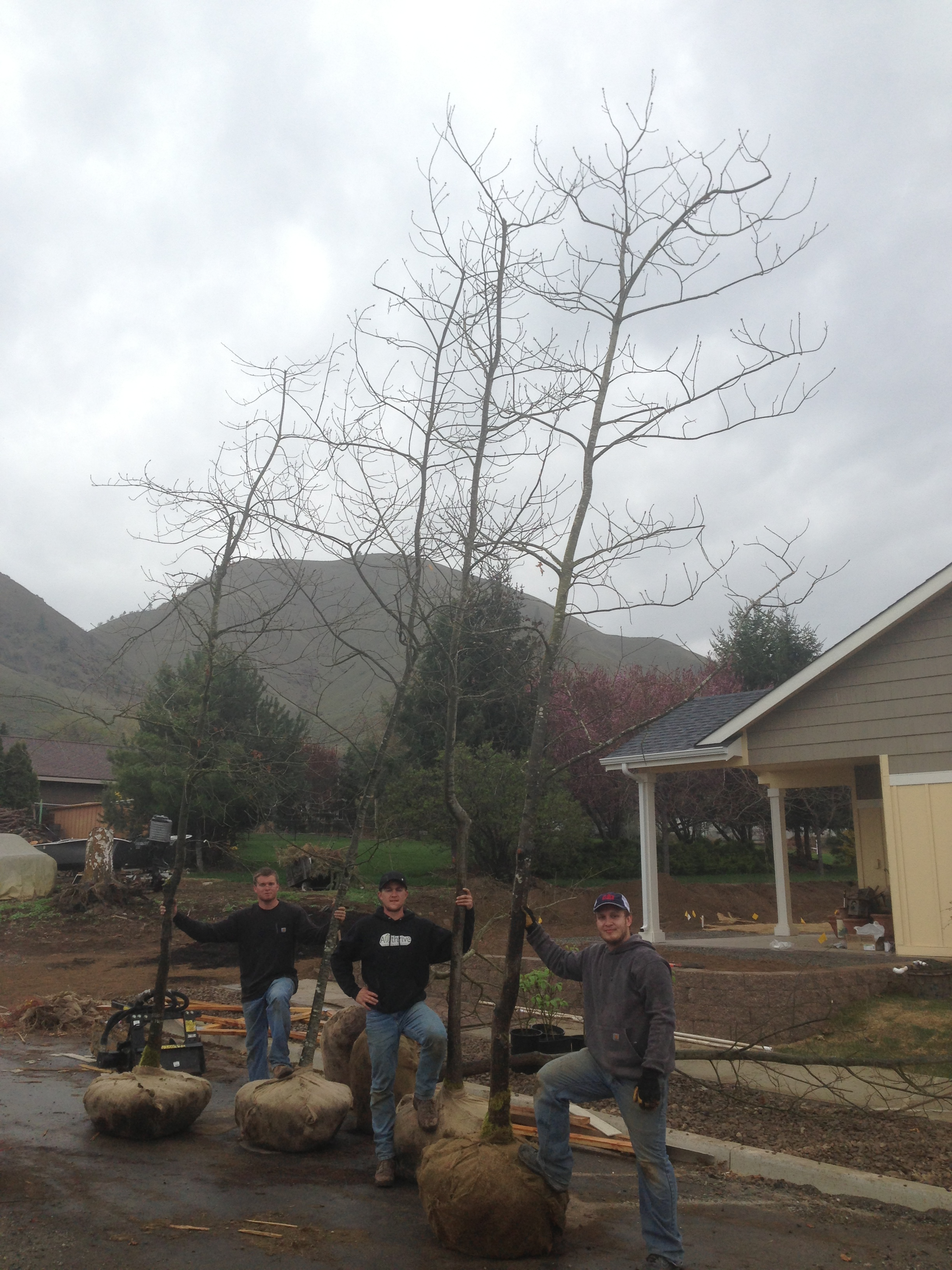 23' Tall Scarlet Oak Trees