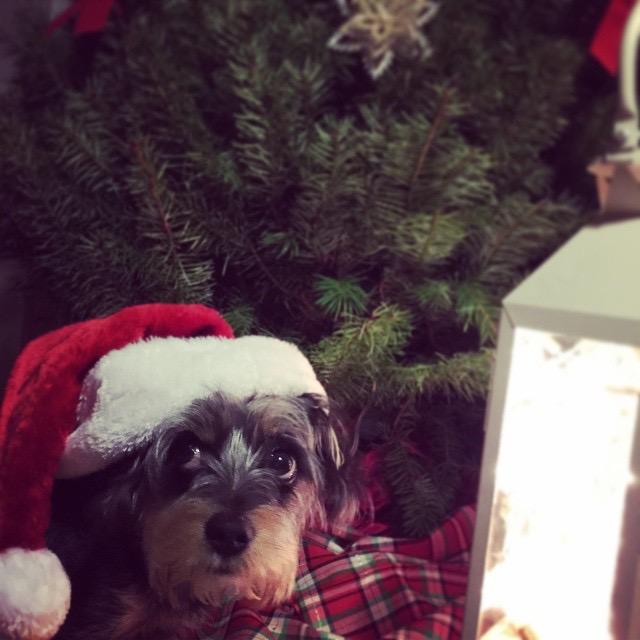 Duple wearing a Santa hat