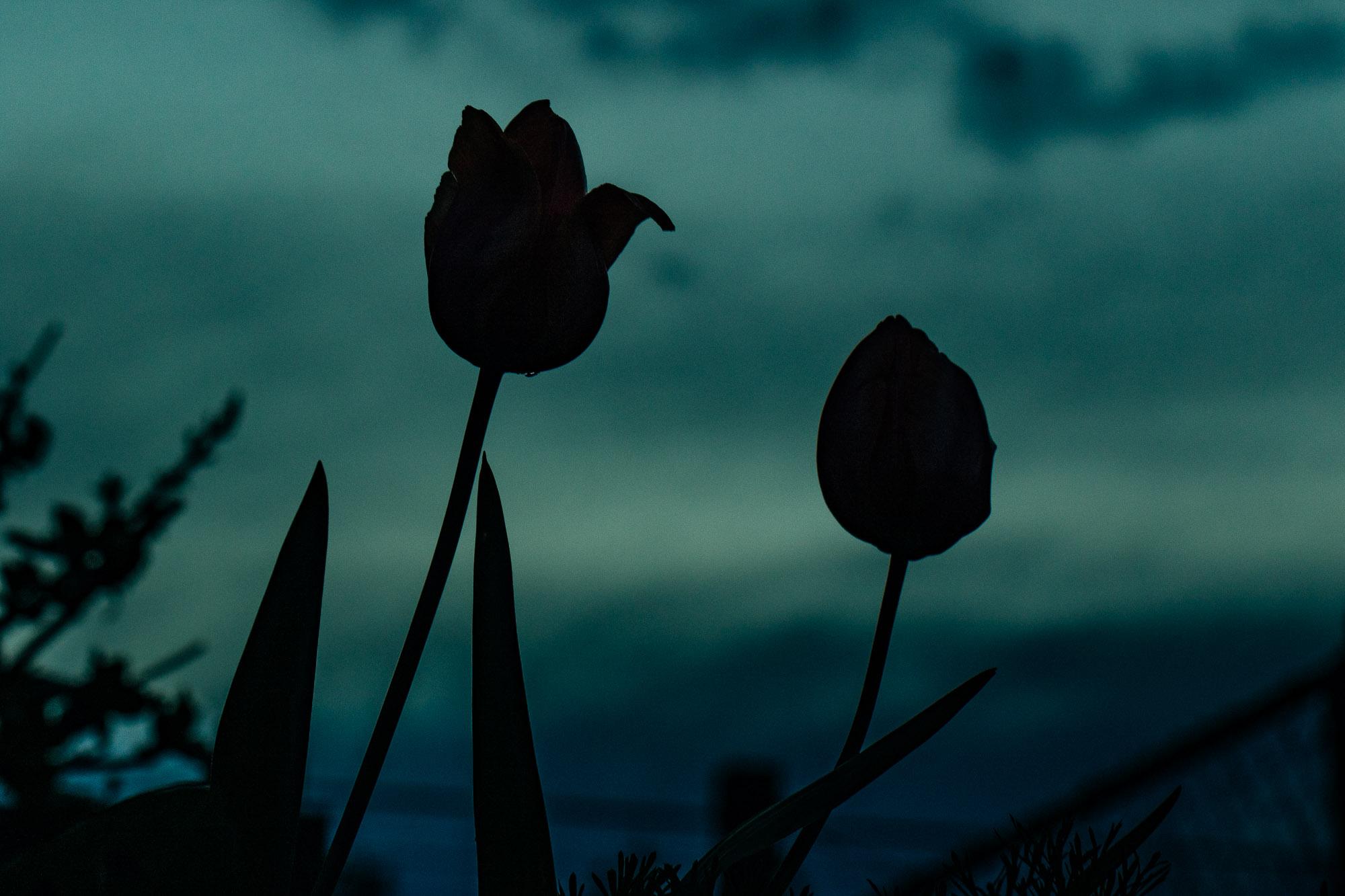 20180410_tulips_0150.jpg