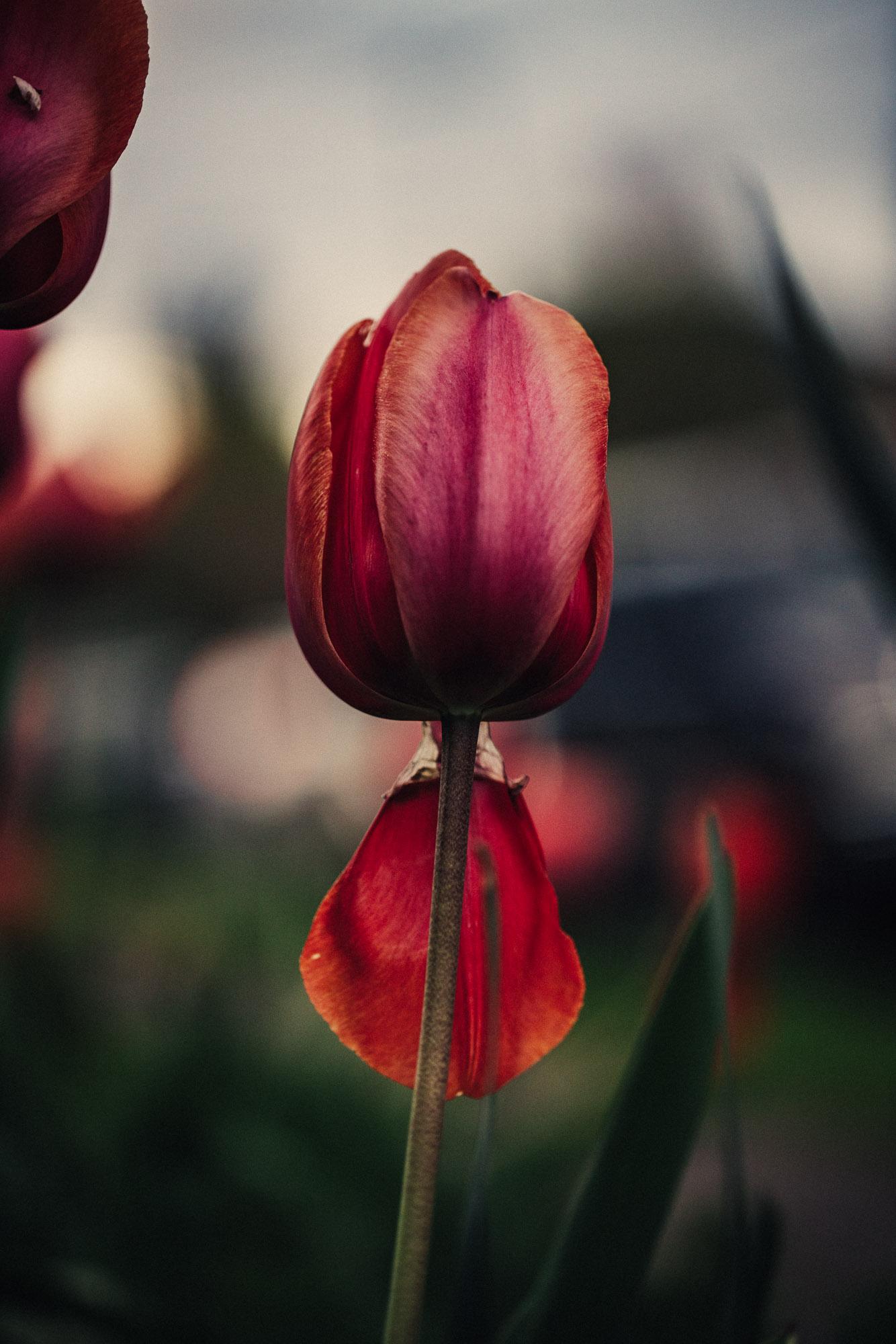 20180410_tulips_0038.jpg
