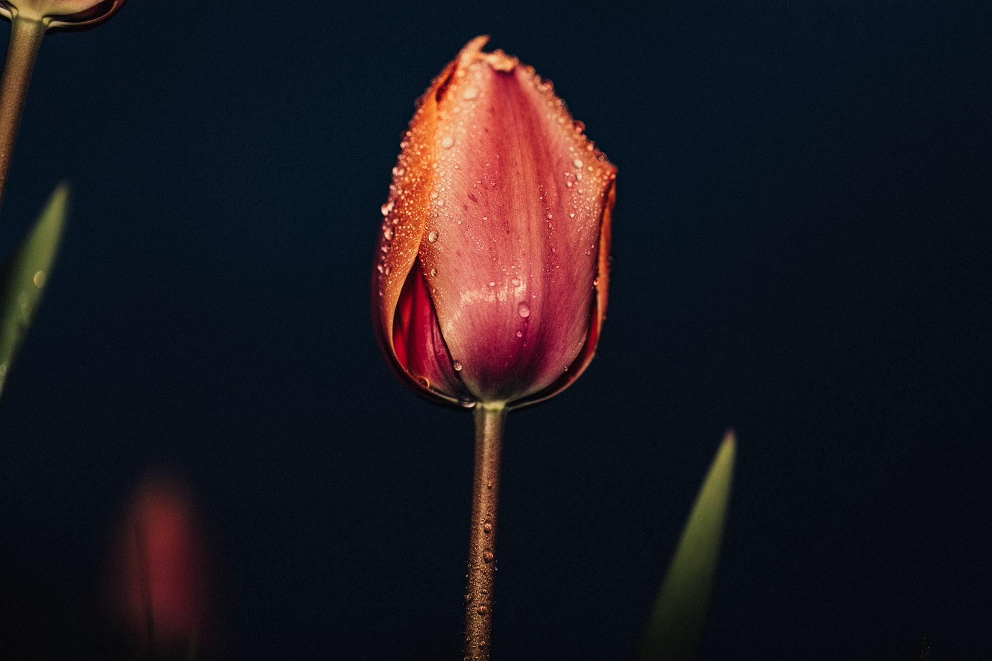 20180405_tulips_0048.jpg