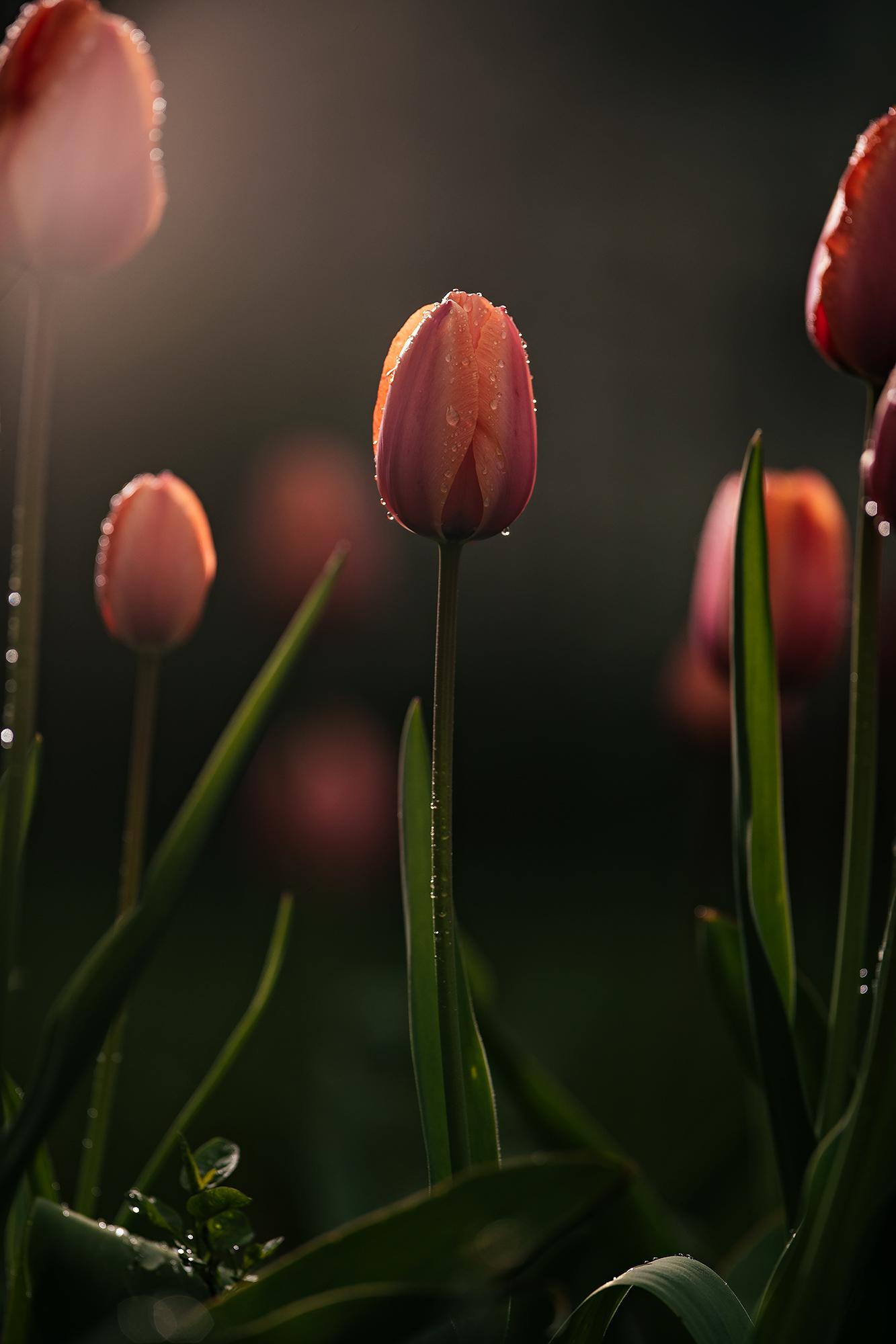 tulip_F0I5936_final_a.jpg