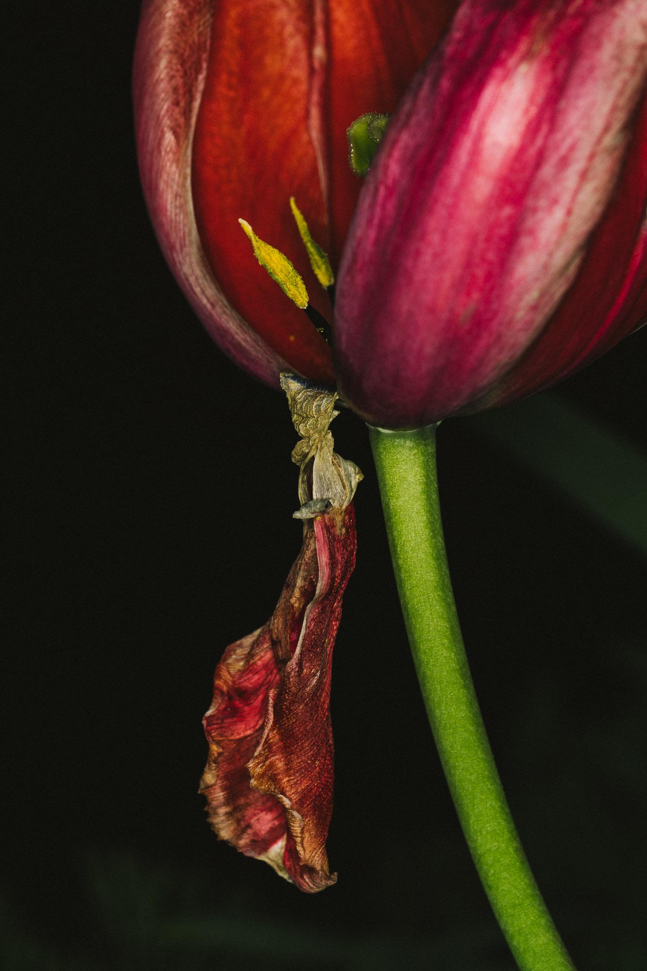 20180420_tulips_0171.jpg