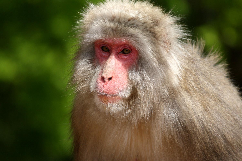 Wild Japanese Macaque, Arashiyama, Kyoto