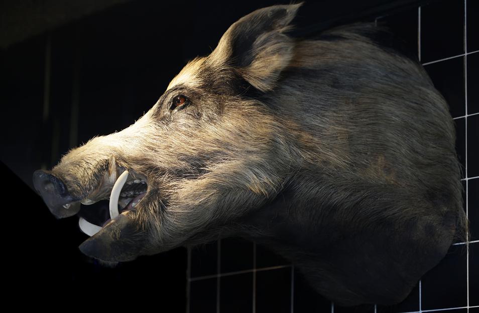 swine - downstairs - pig.jpg