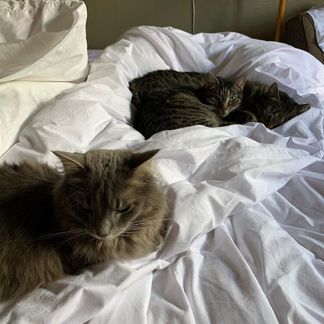 Got interrupted changing the bed & came back to find these 3 staging a takeover.  #norespect #catsofinstagram #catsinbed (Image: one grey longhair cat in the foreground and two brown tabbies behind are sleepily looking at the camera as they nestle in white messy sheets.)
