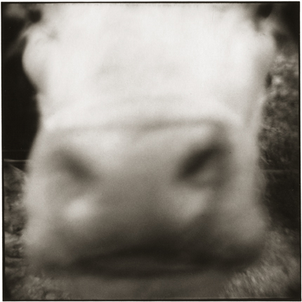 Cow's Face, McArthur, Ohio, 1975 10 x 8 inches vintage silver print