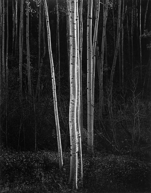 Aspens, New Mexico, 1958 vintage silver print 25.75 x 20.25 inches